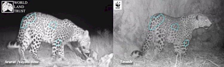Интересный факт о леопарде зафиксированном в армянском Еноковане